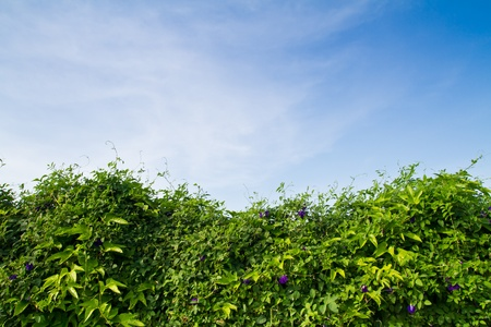 Steel fence wall covered with Clitoria ternatea vine against blue sky photo
