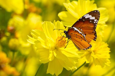 Yellow cosmos flowers and butterfly photo