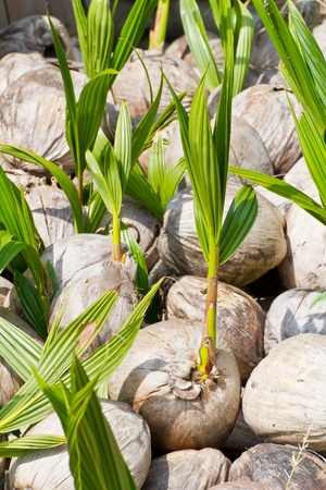 Coconut sprout Stock Photo - 16400093
