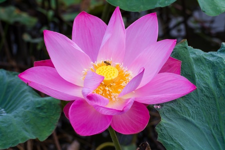 Pink lotus and bee photo