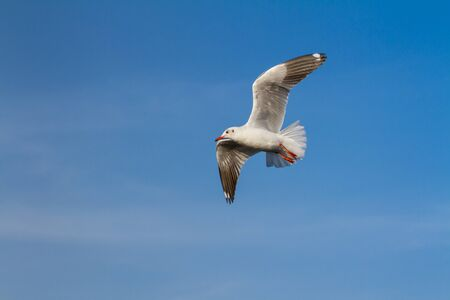 Flying seagull on blue sky photo