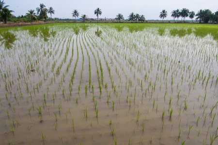 Early stage of rice plant in the paddy photo