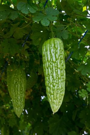 Bitter melon hanging on a vine in garden photo