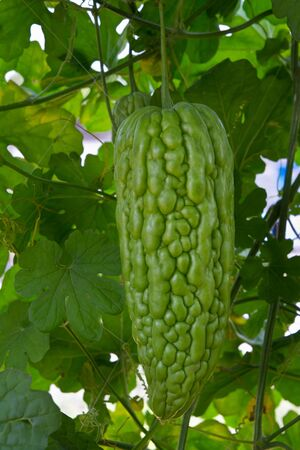 Bitter melon hanging on a vine in garden photo