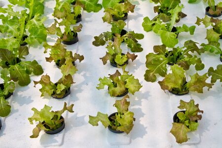 Lettuce, hydrophonic plantation Stock Photo - 16827083