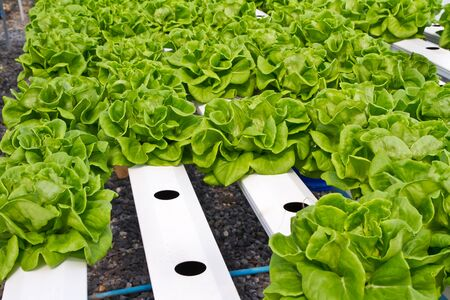 Lettuce, hydrophonic plantation photo