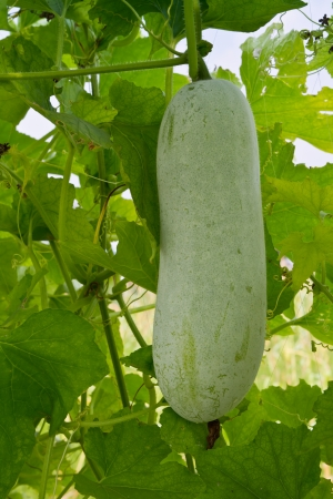 Winter melon hanging on vine photo