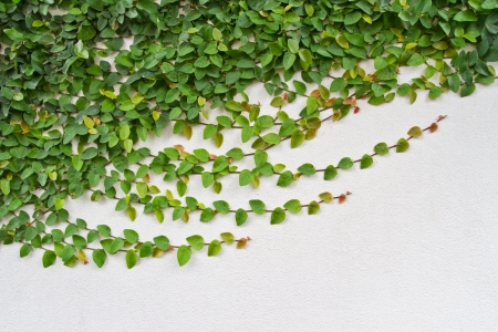 Green creeper plant growing on the white wall Stock Photo