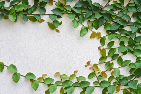 Green creeper plant growing on the white wall Stock Photo - 16827117
