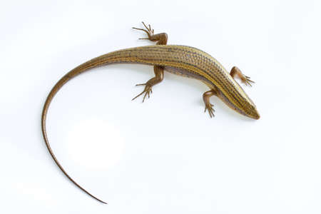 Asia Skink lizard Stock Photo - 16888300