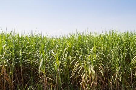Sugarcane Stock Photo - 17125592