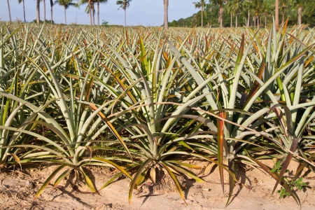 Pineapple plant farm photo