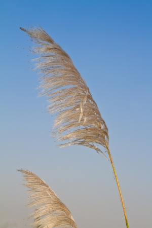 Reed flower blown by the wind photo