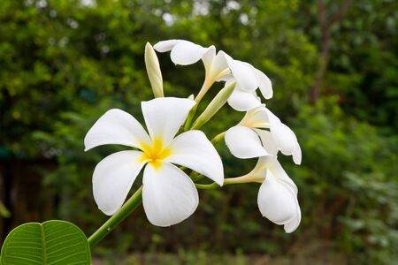 White plumeria photo