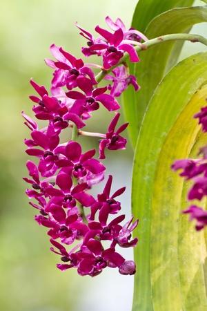 gigantea: Purple orchid, Rhynchostylis gigantea