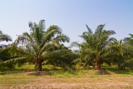 Palm oil trees photo