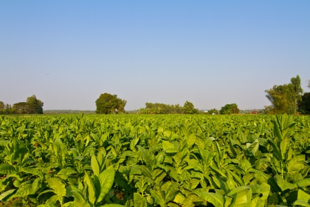 Tobacco field and blue sky