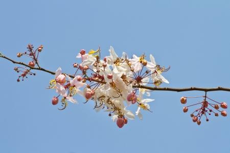 analogous: pink cassia flower Stock Photo
