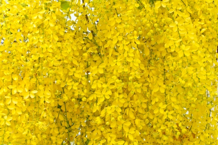 Golden shower flowers photo