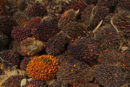 Palm oil fruits, renewable energy photo