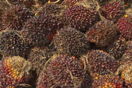 cpo: Palm oil fruits, renewable energy