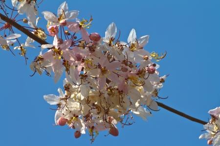 analogous: Pink cassia flower on blue sky, Sakura of Thailand  Stock Photo