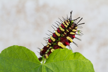 Caterpillar eating on green leaf Stock Photo - 18911757
