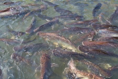 pangasius: Many iridescent shark, pangasius fishs