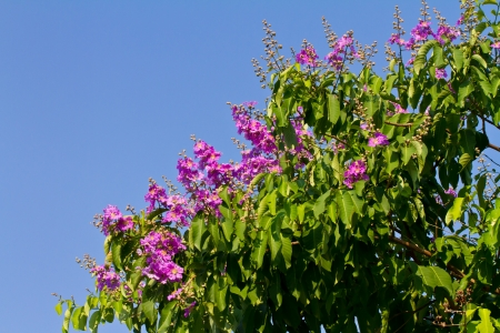 Lagerstroemia floribunda flower photo