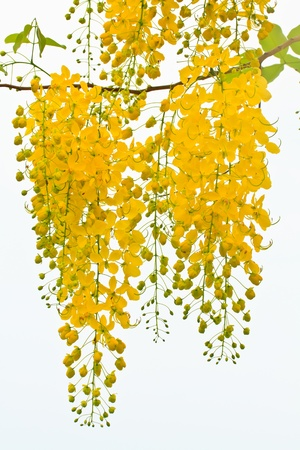 Golden shower flower on white background photo