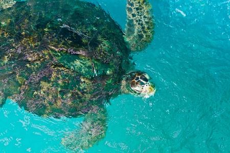 Green turtle in sea water photo