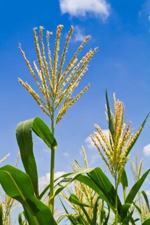 corn flower: Corn flower against blue sky in the farm