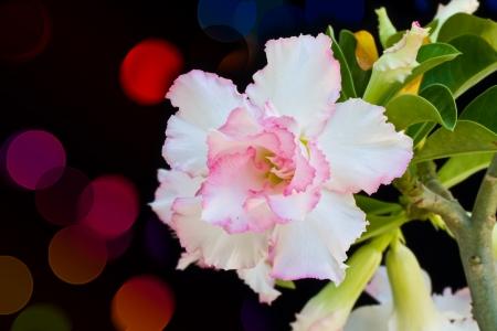 Desert rose on bokeh background photo