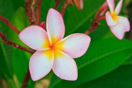 Pink plumeria flower, Frangipani photo