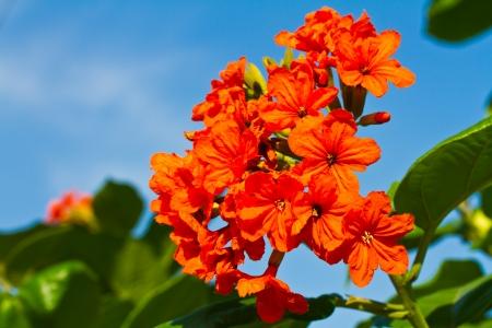 asterids:  Cordia sebestena flower Stock Photo