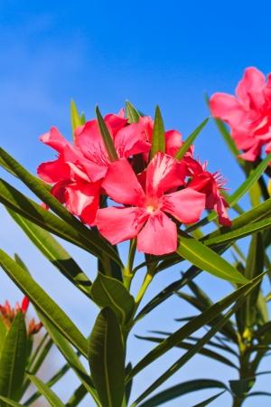 Nerium oleander flowers  photo