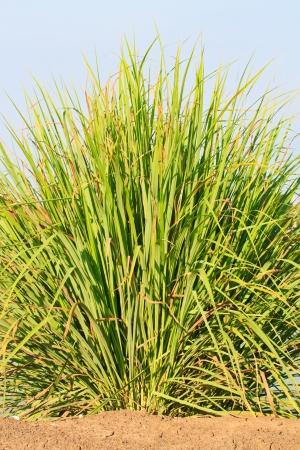 Lemon grass photo