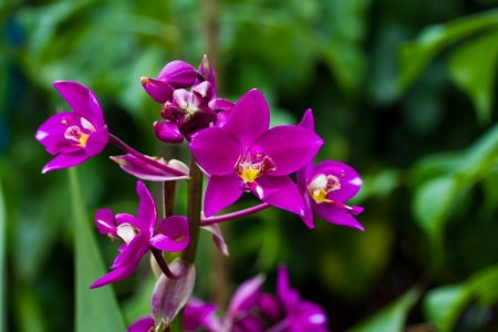 Ground orchid or soil orchid photo
