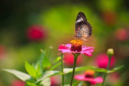 lacewing: Leopard lacewing butterfly feeding on zinnia flower