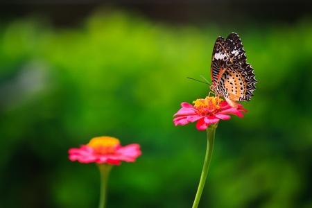 biblis: Leopard lacewing butterfly feeding on zinnia flower