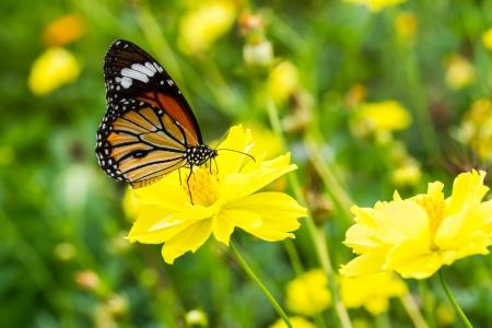 Monarch butterfly on cosmosflower