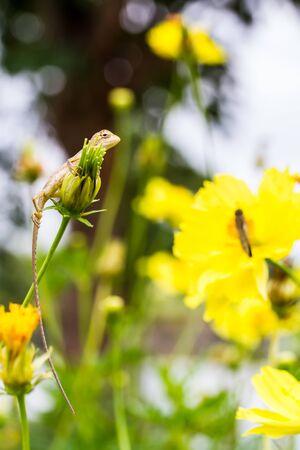 prin: Asia lagarto en la flor del cosmos