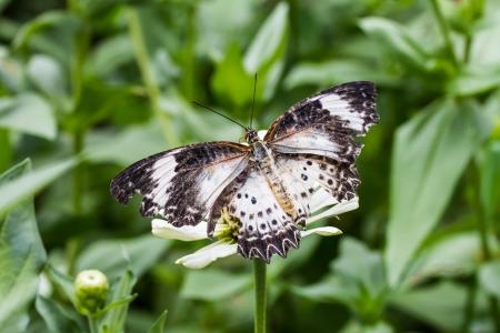 rend: Leopard lacewing butterfly feeding on zinnia flower