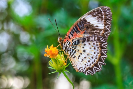 Leopard lacewing butterfly feeding on cosmos flower  photo