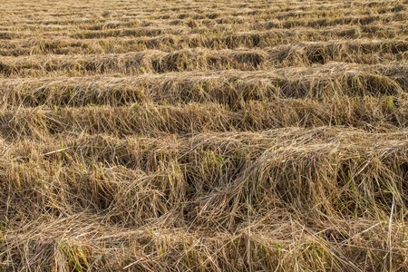 Rice straw in the fields after harvest  photo