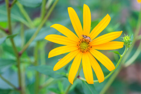 Jerusalem artichoke flowers photo