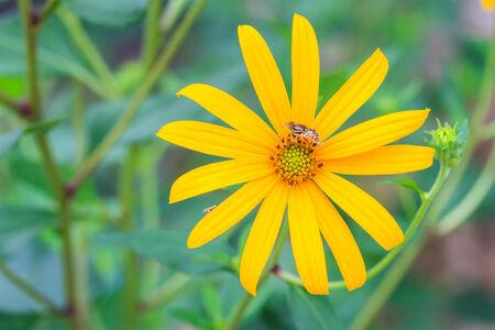 pedicel: Jerusalem artichoke flowers