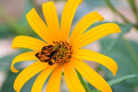 pedicel: Jerusalem artichoke flowers and butterfly