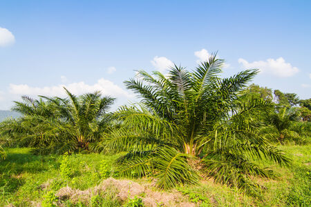 Palm oil plant farm photo