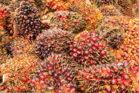 red palm oil: Palm oil fruits